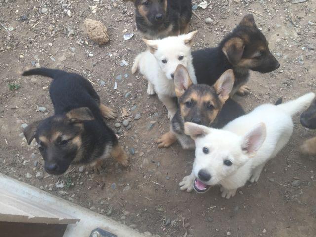 Beautiful purebred German shepherd puppies