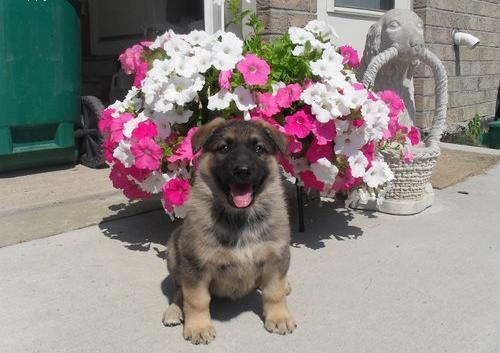 Pure Breed German Shepherd Puppies