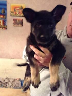 Female AKC Black and Tan German Shepherd Puppy - READY NOW