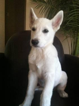 White AKC German Shepherd Puppy!
