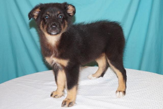 Beautiful Australian Shepherd Puppy for Sale in New Caney, Texas