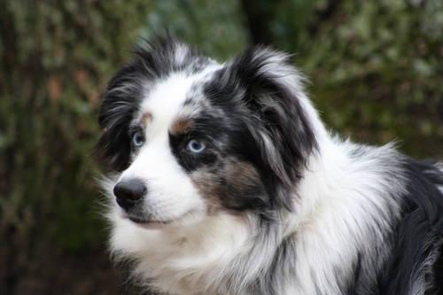 Adorable Blue Merle Miniature Australian Shepherd Puppy For Sale For