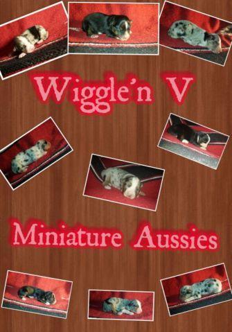Miniature Australian Shepherds