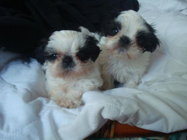 Adorable AKC Imperial Shi-Tzu Male Puppies