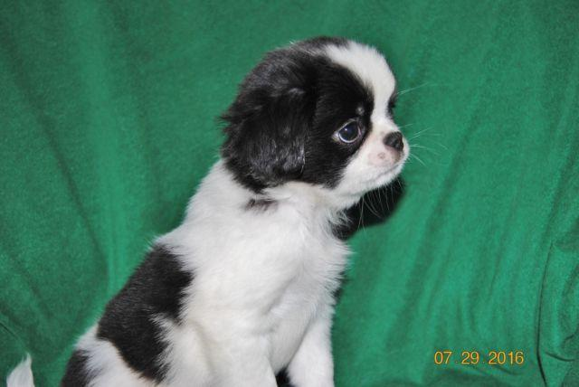 Baby Buster Japanese Chin Shih Tzu Mix For Sale In Osakis