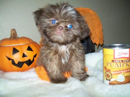 Adorable Yorkie Shih-tzu Puppy