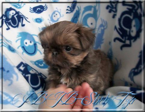 Rare Blue Dobie marked Shih Tzu Boy! for Sale in Milwaukee