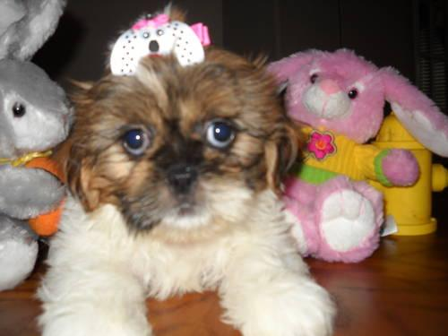Teddy Bear Faces Males Shih Tzu Puppies For Sale In Cypress Texas