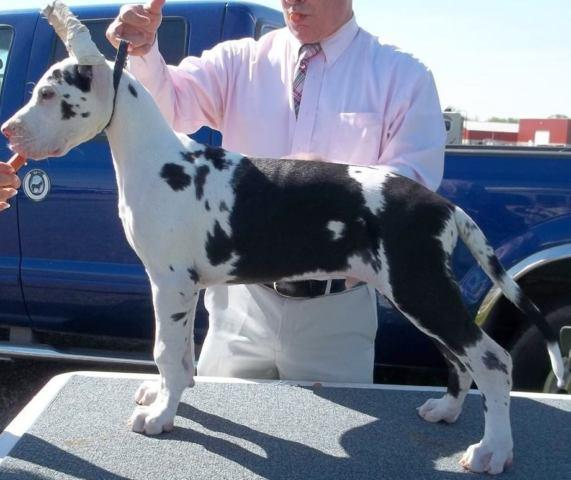 Exceptional Great Dane Show Puppies
