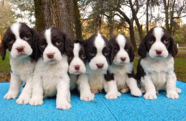 AKC ENGLISH SPRINGER SPANIELS PUPPIES !!! SHOW QUALITY VELCRO