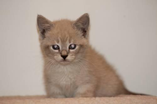 Siamese Cats For Sale Mn