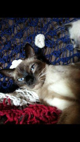 chocolate point siamese kittens for Sale in Antigo