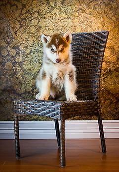 AKC Champion Bloodline Siberian Husky Puppy