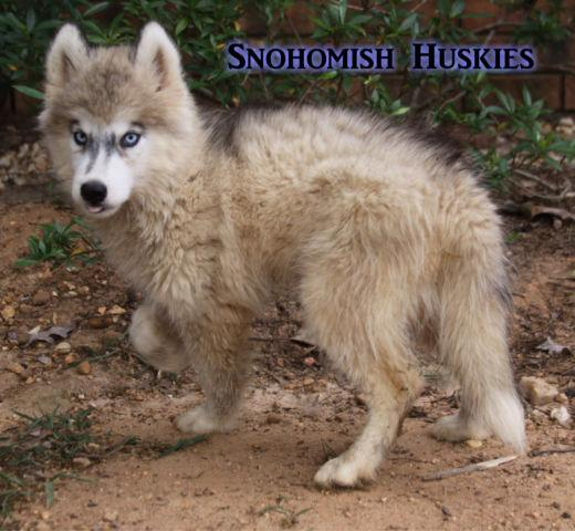 Wooly Female Silver Grey Siberian Husky Puppy