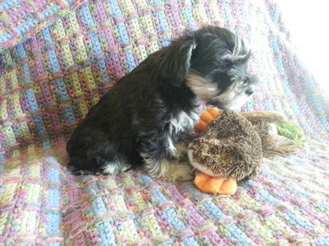 Miniature Schnauzer puppies - Black & Silver - AKC