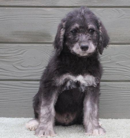 Pepper - show stopping male black & silver phantom labradoodle puppy