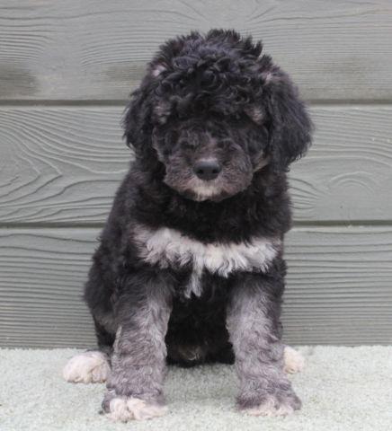 Ranger - outstanding black & silver phantom labradoodle puppy