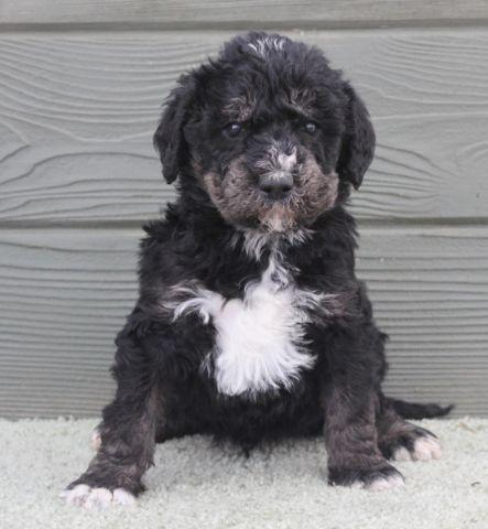 Mac - outstanding black & silver phantom male labradoodle puppy