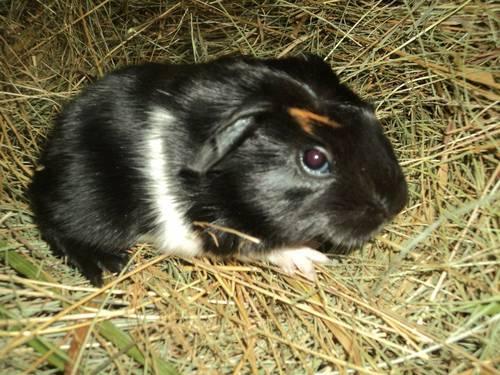 Little male silver piggie