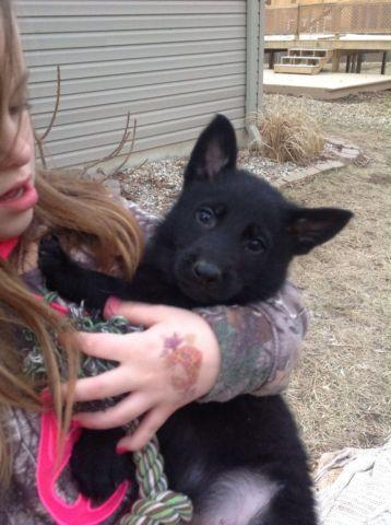 AKC german shepherd slick black puppies