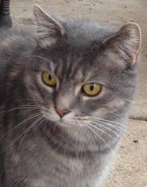 Domestic Short Hair - Maggie 2 - Small - Baby - Female - Cat