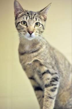 Domestic Short Hair - Brown - Fritz - Small - Young - Male - Cat
