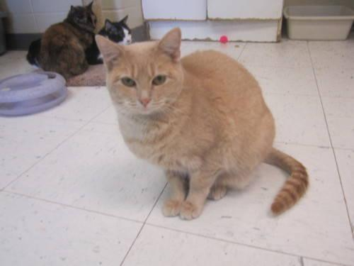 Domestic Short Hair - Buff - Floppy - Small - Young - Male - Cat