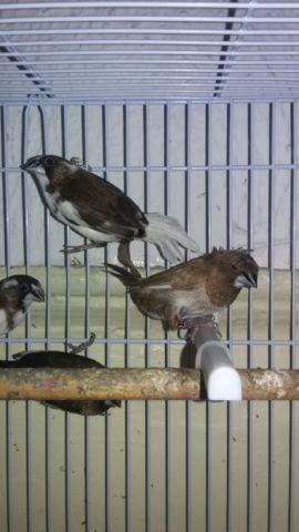 RUSSIAN CANARIES ,GOULDIANS & SOCIETY FINCHES AVAILABLE