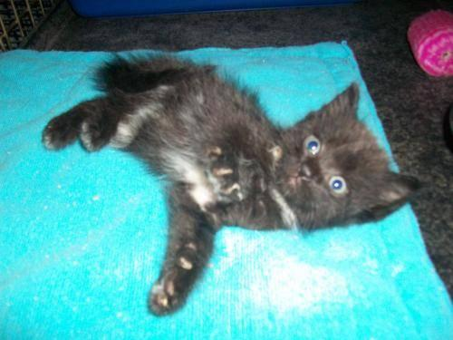 Domestic Medium Hair - Black - Smokey & Sooty - Small - Baby