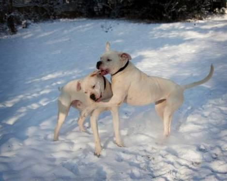 American Bulldog - Polka & Dottie / Spalding County, Ga - Large