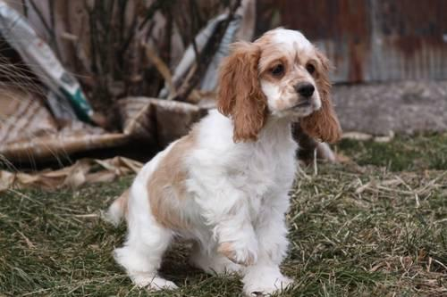 AKC Cocker Spaniel