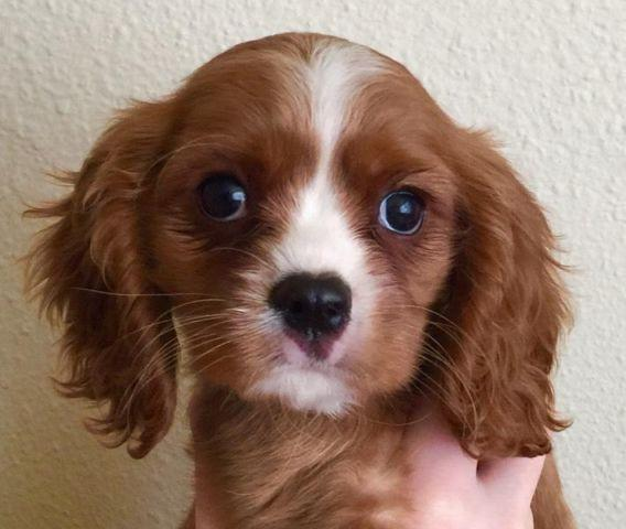 Cavalier King Charles Spaniel Puppies For Sale In Portland Oregon