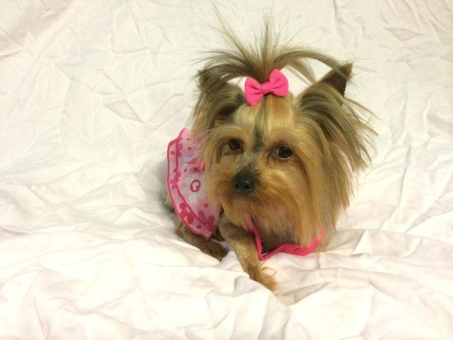 Tiny and gorgeous spayed female Yorkie!