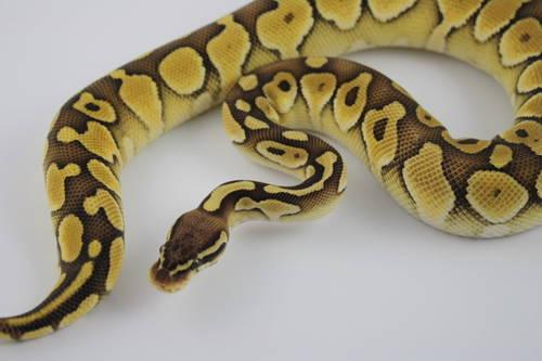 Ball Python - Female - Morph Spinner 2012 Hatchling 240 grams