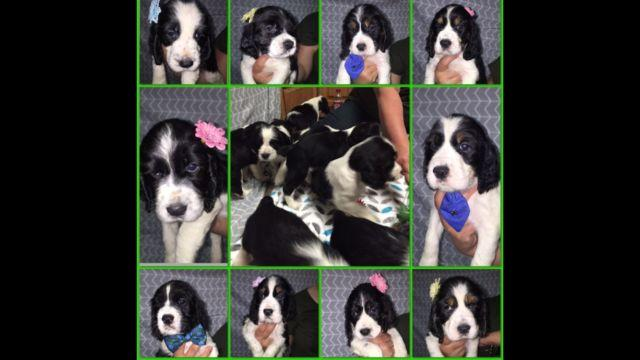AKC English Springer Spaniels for Sale in Klamath Falls