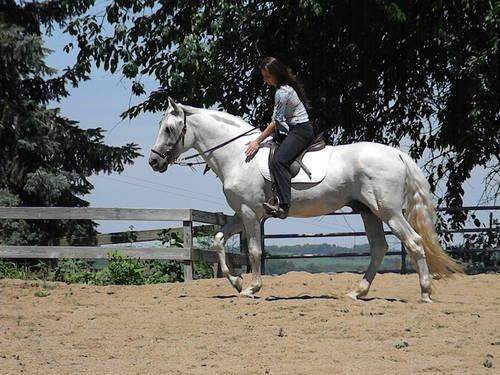 Pure Spanish Andalusian Stallion At Stud