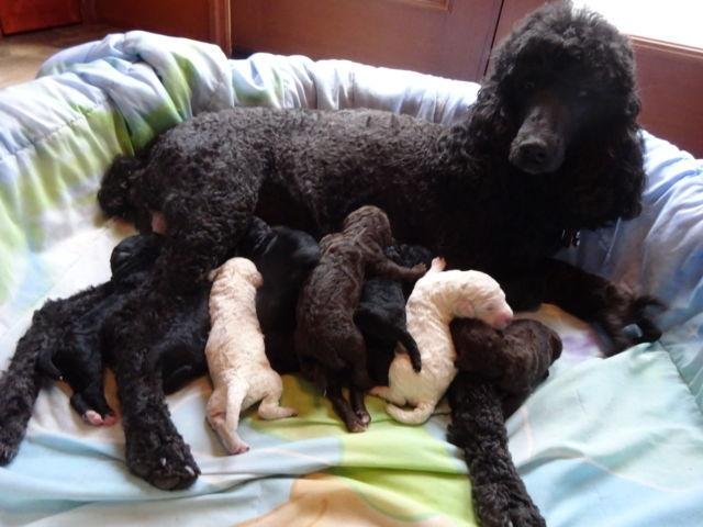 AKC UKC Registered Standard Poodle Puppies for Sale in Clearville