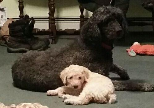 Hypoallergenic, non shedding Standard Poodle puppy