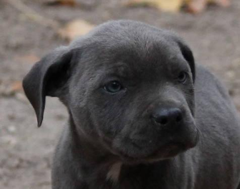 8 wk old pr ukc bully style pitbull pups for sale