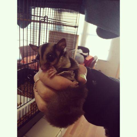 Baby Female Sugar Glider