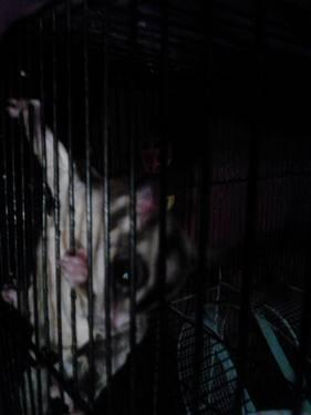 Breeding Pair of Sugar Gliders