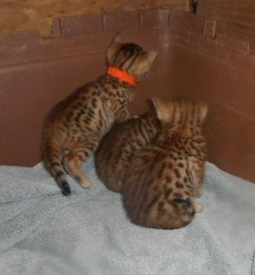 Bengal Kittens (summer discounted)