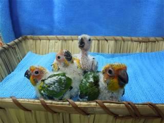 4 Baby Sun Conures