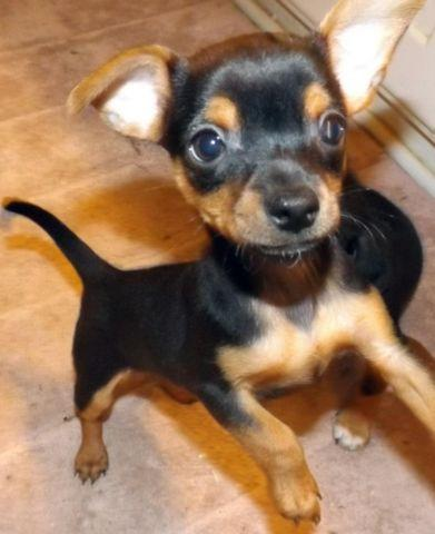 Black & Tan Chihuahua Puppy Sweet Tiny Female 12 Weeks