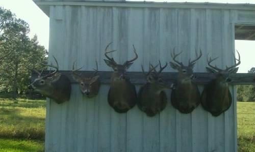 6 Big Buck Taxidermy Mounts Package