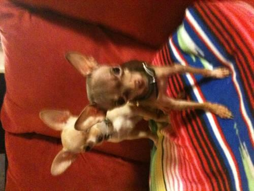 male and female chihuahua TRUE TCUPS{grown 2&3 pounds,not as pups}