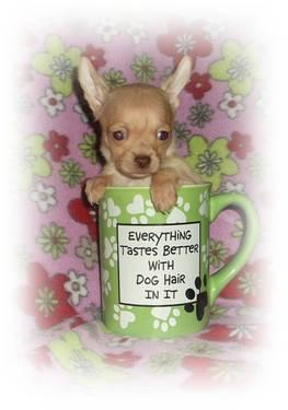 AKC/CKC reg. Champion Bloodlines Teacup Applehead Chihuahua Puppy