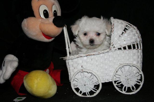 AKC reg Maltese teacup male puppies for Sale in Wonder Lake