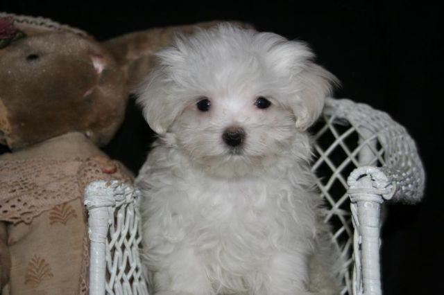 Akc Male Maltese Teacup Puppies For Sale In Wonder Lake Illinois