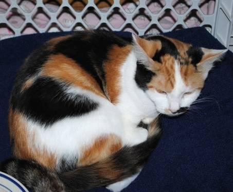 Calico - Angel Needed For Mother Teresa - Medium - Young